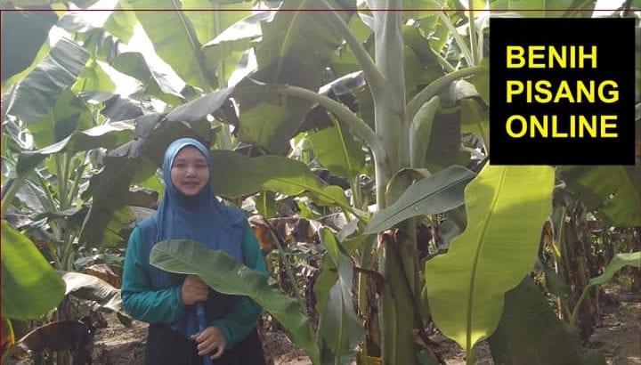 Benih sulur pokok pisang RASTALI