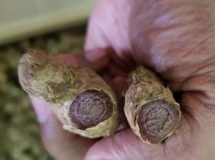Kunyit Hitam kaempferia parviflora