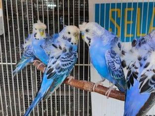 Burung budgie HOGOROMO
